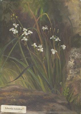 Painting: Libertia ixioides