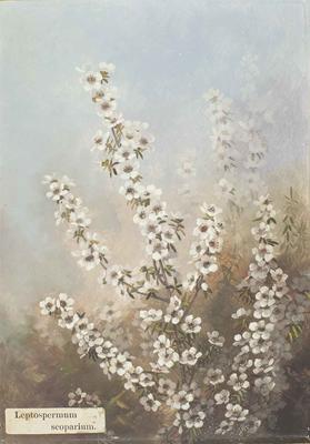 Painting: Leptospermum scoparium