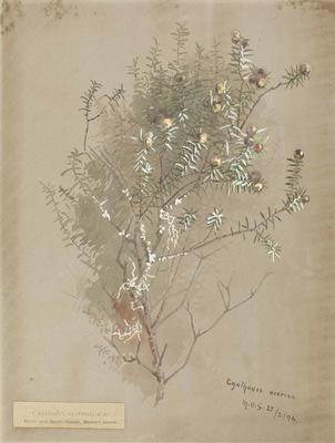 Painting: Cyathodes acerosa