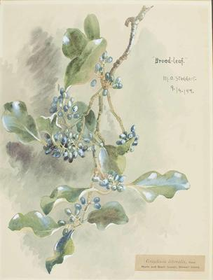 Painting: Griselinia littoralis
