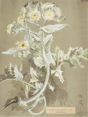 Painting: Sonchus grandifolius