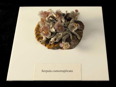 Glass Invertebrate Model: Serpula contortuplicata