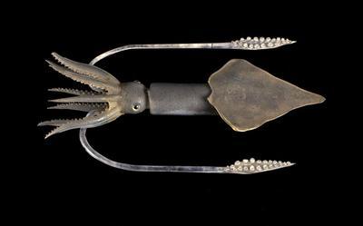 Glass Model Invertebrate: Onychoteuthis lichtensteinii