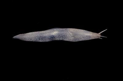 Glass Model Invertebrate: Limax arborum