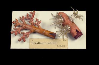 Glass Model Invertebrate: Corallium rubrum