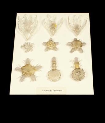Glass Model Invertebrate: Amphiura filiformis, stage of development