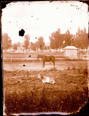 Glass Plate Negative: Alfred Charles Barker's Paddock