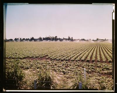 Film Negative: A M Bisley Limited, bean irrigation