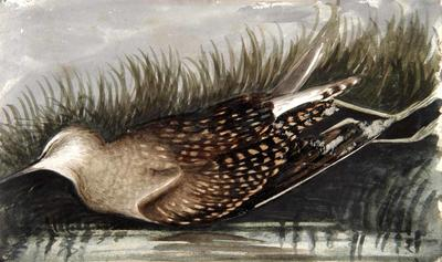 Painting: A species of Sand Piper, Sept 1836