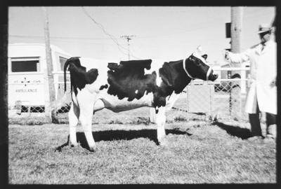 Film negative: Jordan Printers, cow