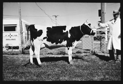 Film negative: Jordan Printers, cow