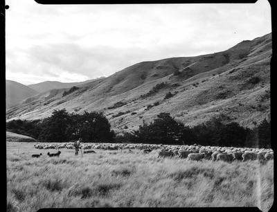 Film negative: Glyn Wye Station, sheep muster, mob on flat