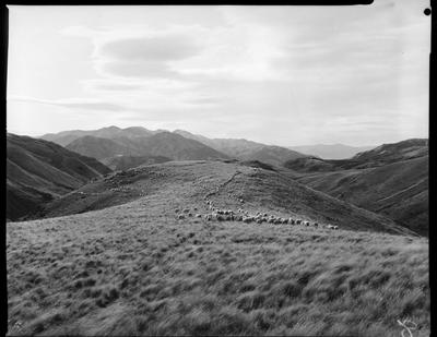 Film negative: Glyn Wye Station, sheep muster, hill work