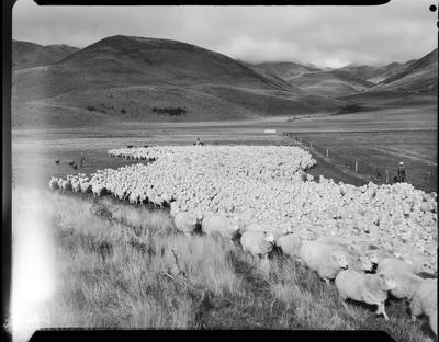 Film negative: Glyn Wye Station, sheep muster, whole mob