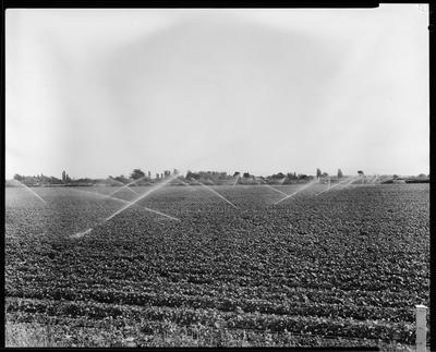 Film negative: Bisley Irrigation, watering the beans