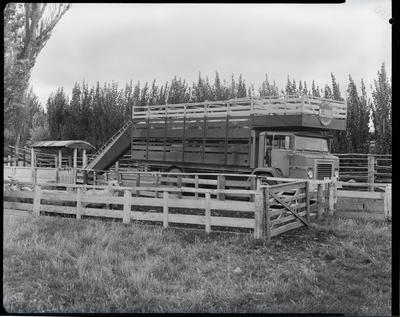 Film negative: International Harvester Company: truck and sheep deck loading at Halswell