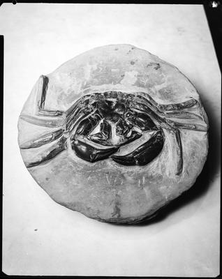 Film negative: Fossil crab