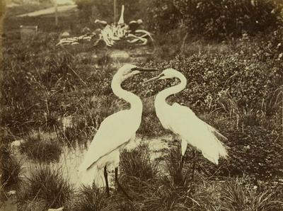 Photograph: White Cranes