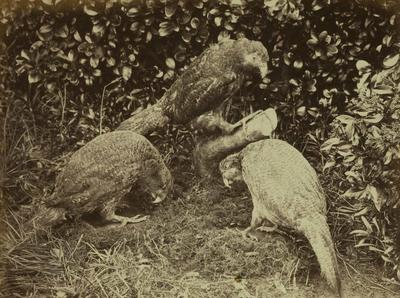 Photograph: Three Kakapo