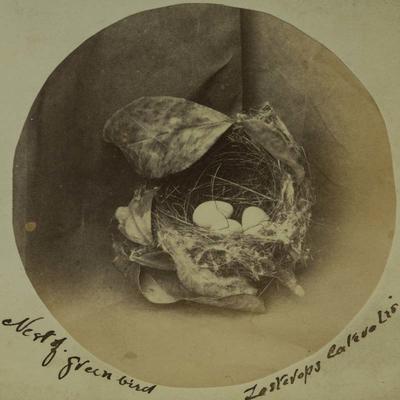 Photograph: Nest of Green Bird