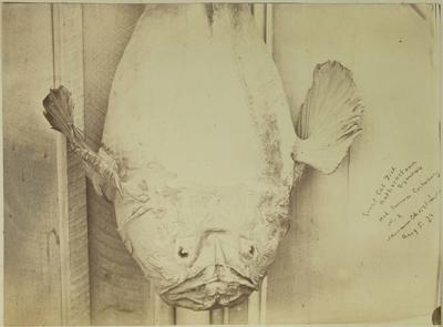 Photograph: Giant Cut Fish