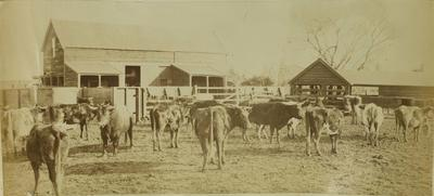 Photograph: Devon Cows