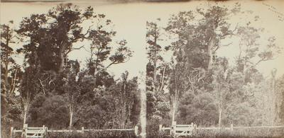 Photograph: Totara Tree