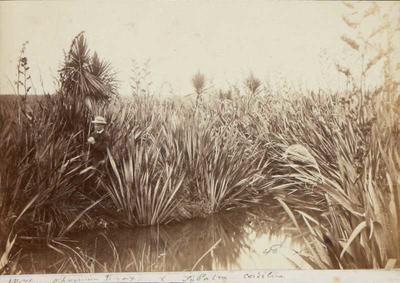 Photograph: Flax