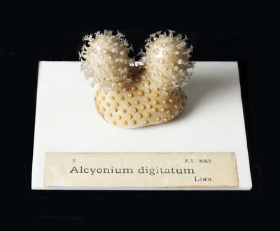 Glass Model Invertebrate: Alcyonium digitatum
