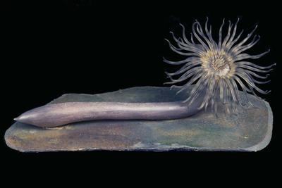 Glass Model Invertebrate: Cerianthus membranaceus