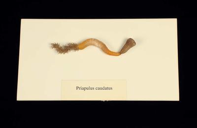 Glass Model Invertebrate: Priapulus caudatus
