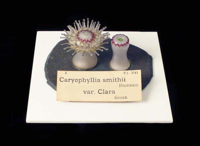 Glass Model Invertebrate: Caryophyllia smithii variety clara