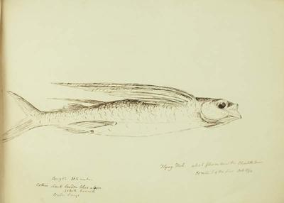 Sketch: Flying Fish, 10 October 1850
