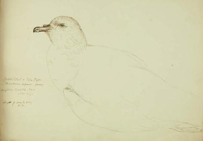 Sketch: Spotted Petrel, 4 November 1850