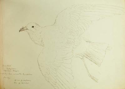 Sketch: Storm Petrel, 4 November 1850