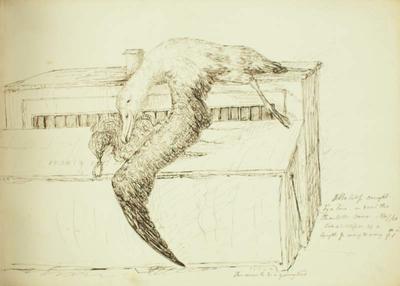 Sketch: Albatross, 7 November 1850