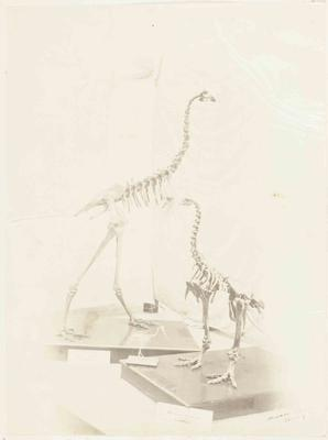 Photograph: Two Moa Skeletons on Display at Canterbury Museum, 9 June 1877