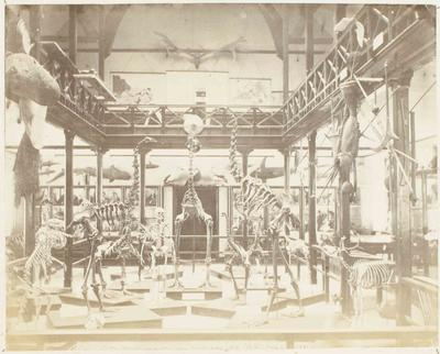 Photograph: Mountfort Gallery Skeletal Display, Canterbury Museum, 1871