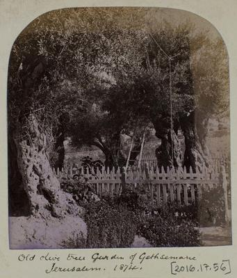Photographic Print: Old Olive Trees in the Garden Of Gethsemane, Jerusalem 1874.