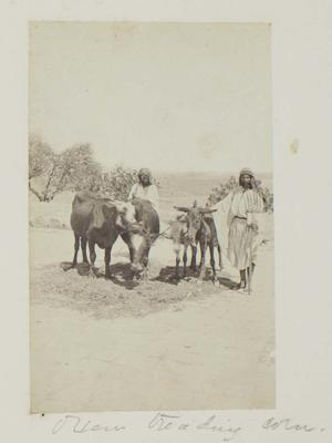 Photograph: Two Men with Two Cattle and Two Donkeys
