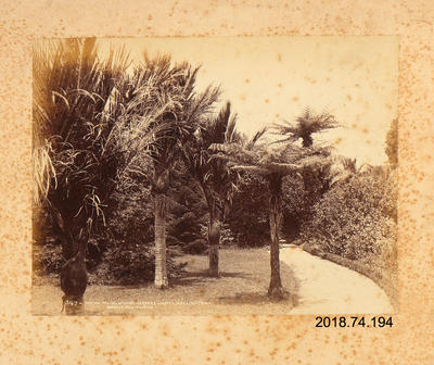 Photograph: Nikau Palms, McNab's Gardens Hutt, Wellington