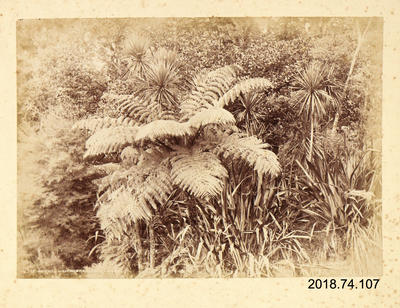 Photograph: Ferns, Waitakere Auckland