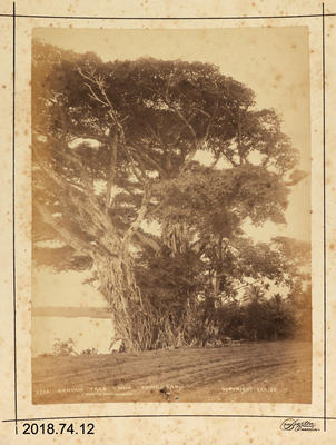 Photograph: Banyan Tree - Mua - Tongatabu