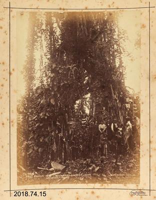 Photograph: Banyan Tree - Botanic Gardens - Suva - Fiji