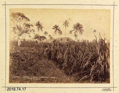 Photograph: Sugar Field - Taviuni - Fiji