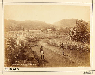 Photograph: Sugar Field - Mango - Fiji