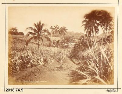 Photograph: Fijian Sugar Field - Mango