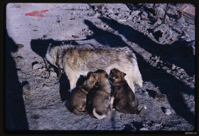 Slide: Husky dog with pups