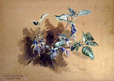 Painting: Fuchsia excorticata