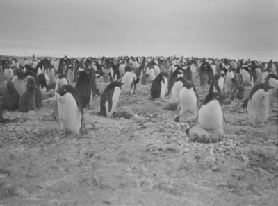 Photograph: Adelie Penguins